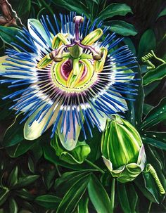 Passion Flower... I want a bouquet to have these