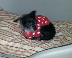 Meet Darci Mae a Petfinder adoptable Chihuahua Dog | New York, NY | Darci Mae is an approximately 10 year old, 6-7 lb Chihuahua mix. She is good with dogs and cats,...