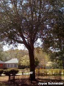 Eufaula, Alabama - Tree That Owns Itself