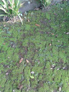 Musgo formando um tapete sobre uma calçada. RJ. São Briófitas e, preferem lugares úmidos e de sombras, por dependeram da água para o sobrevivência!