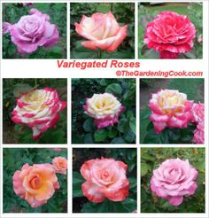 Variegated roses in Raleigh's rose garden -   http://thegardeningcook.com/variegated-roses/
