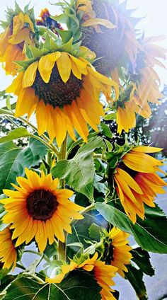 He knew how I loved sunflowers Beautiful Flowers Garden, Happy Flowers, Pretty Flowers, Beautiful Gardens, Wild Flowers, Sun Flowers, Sunflower Quotes, Sunflower Pictures, My Flower