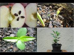 Maçã como plantar