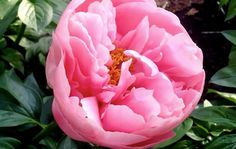 This is the perfect, classic pink peony of gardener's dreams. Rich carnation pink centers gently fade to blush, giving Salmon Dream a depth and softness that can't be found in solid pinks. And the buds have such strong color you might be tempted to pop them in your mouth and chew them like gum balls!   Early, Herbaceous, Semi-double