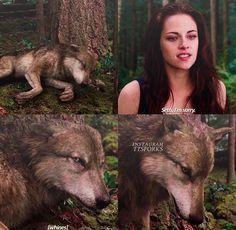 Twilight Wolf Pack, Jacob Black Twilight, Twilight Poster, Twilight Saga Quotes, Twilight Saga Series, Twilight New Moon, Funny Animal Videos, Funny Animals, Twilight Breaking Dawn