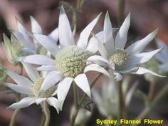 images of Australian birds and fauna Flannel Flower, Australian Native Flowers, Types Of Flowers, Flower Images, Garden Inspiration, White Flowers, Tatoos, Floral, Plants