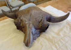 bison antiguus extinct | this skull is from the extinct giant bison bison antiquus