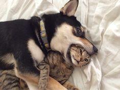 Alla som någon gång har haft en katt och en hund i hemmet vet att det oftast är katterna som sätter reglerna och upprätthåller dem. Hur många bilder har vi inte sett på katter som ligger i hundarnas sängar, äter deras mat eller leker med deras favoritleksaker? Ganska många... !