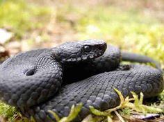 Melanistic Adder, or Black Adder, native to Scotland and considered more poisonous than the normal adder.