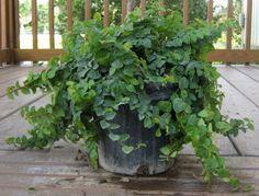 Ficus pumila tel que vue en jardinerie.
