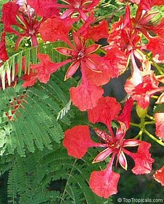 Royal Poinciana's flowers (Delonix regia) Grows 20-30+ft tall w/ even wider spread, zones 10-11, full sun, likes acidic soil, blooms spring to mid-summer in deep red, red-orange, yellow, yellow-orange (or any combo thereof). Easy propagate by seed. Looks like an enormous wind-swept bonsai w/ its horizontal branches & fabulous canopy. Attracts butterflies. Fast grower.