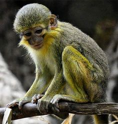 Talapoin - Small, Yellow, Central African Monkey
