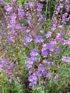 Penstemon spectabilis  Showy Penstemon. We have these..and I love them! Great for butterflies!