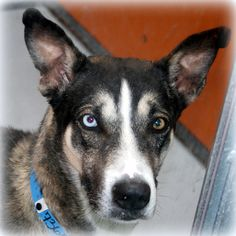 *YUKON-ID#A736511  Shelter staff named me YUKON.  I am a male, black and white Siberian Husky mix.  The shelter staff think I am about 1 y...