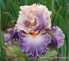 Photogenic (2006) boasts fantastic flower stature, and refined complementary colors that make one reach for their camera. Pleated rosy pink standards have violet midribs. Lavender-orchid falls lighten at the center,...