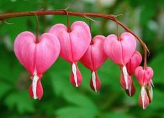 103 heart orchid seeds Dicentra Spectabilis seeds Bleeding Heart classic cottage garden plant, seeds for flower pot planters. Bleeding Heart Plant, Bleeding Hearts, Giving Flowers, Orchid Seeds, Heart In Nature, Cottage Garden Plants, Floral Artwork, Spring Blooms, Medicinal Herbs