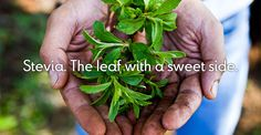 What Extra Ingredients are in Your Natural Stevia Product?