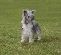 chinese crested | Chinese Crested Dog Tinker