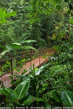 Hanging Bridge- Costa Rica Rainforest - Walking across a hanging bridge was scary, but I enjoyed being above the canopy of the trees. Moving To Costa Rica, Costa Rica Travel, Honduras, Places To See, Places To Travel, Puerto Rico, Jungle Life, Forest Photography, Travel Images