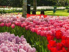 オランダのチューリップ、キューケンホフ公園もうすぐ開園