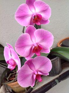 Orquidea Phalaenopsis / mom's collection