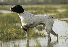English Pointer...my boy Huck is half English Pointer and looks so much like this ( with 20 extra pounds and some coonhound jowels! )