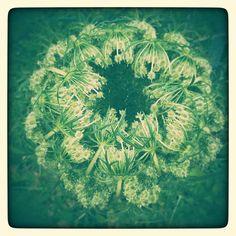 Im Garten Dandelion, Flowers, Plants, Lawn And Garden, Dandelions, Plant, Taraxacum Officinale, Royal Icing Flowers, Flower