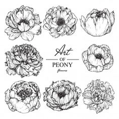 Peony leaf and flower drawings. Illustration Botanique Vintage, Peony Illustration, Floral Illustrations, Vintage Botanical Illustration, Peony Drawing, Peony Painting, Floral Drawing, Flower Sketches, Drawing Sketches