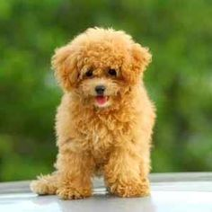 Seventh Most Popular Dog Breed:  Poodle