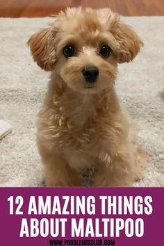 Teddy Bear Puppies, Cute Baby Puppies, Super Cute Puppies, Teacup Puppies, Cute Baby Animals, Dog Breeds That Dont Shed, Cute Dogs Breeds, Cute Small Dog Breeds, Small Breed Dogs