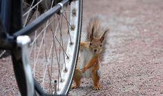 """Orava ja pyörä ©Eemeli: """"Kuva otettu etupihalta jossa pyörii yksi utelias orava. Onneksi tämä kuva onnistui, koska kyseessä on aika vauhdikas kaveri. Houkuttimena käytin pähkinöitä. :)"""""""