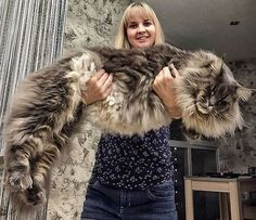 The biggest domestic cat breed so far is the Maine Coon. With the male individuals weight may reach 15 kg. His hairy body makes him visually look even bigger. The average weigh is 10 kg. Cute Cats And Kittens, Cool Cats, Kittens Cutest, White Kittens, Black Cats, Chat Maine Coon, Maine Coon Kittens, Ragdoll Kittens, Tabby Cats