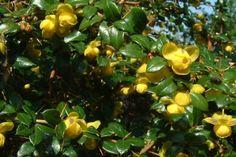 Vårtberberis  Vårtberberis är en långsamväxande, vintergrön sort av berberis. En del blad skiftar färg till rött på hösten, vilket ger en vacker effekt i din trädgård. Vårtberberis ger bra skydd mot inbrott med sina vassa törnen. En nackdel är dock att de tallrika, kraftiga taggarna gör vårtberberis svårt att beskära. Vårtberberisen tål hård beskärning i mars-april eller strax efter blomningen.