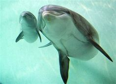 Image: Newborn bottlenose dolphin and mother