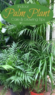Palm plants are indoor tropical plants that will thrive for years when given the proper care. Growing them is easy with these indoor palm plant care tips.