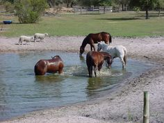 ha! Like my Arabians would do this? I think not!  I have to retrain them each monsoon season to go through puddles!