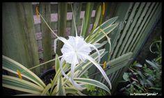 rare spider lily | RARE VARIEGATED THAI SPIDER LILY HYMENOCALLIS LITTORALIS STUNNING ...
