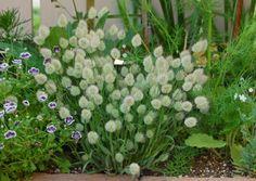 今日は『ほわほわ~』なお花たち☆ トリフォリウム バニーズ 『こぼれ種で毎年良く咲く!』と何かの園芸本に書いてあったので 去年の花後に出来た種を...