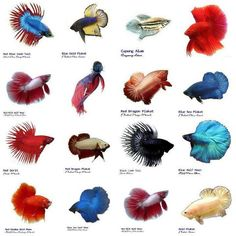 Bettas, tail types.                                                                                                                                                                                 More