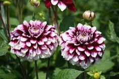 """Rothsay Reveller. 4"""" bloom."""