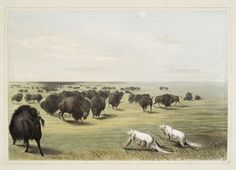 Buffalo hunt. Under the white wolf skin. From New York Public Library Digital Collections.