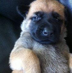 belgian malinois puppy, in its early bear phase. Beautiful Dogs, Animals Beautiful, Cute Animals, Cute Puppies, Dogs And Puppies, Doggies, Pastor Belga Malinois, Seattle Dog, Belgian Shepherd
