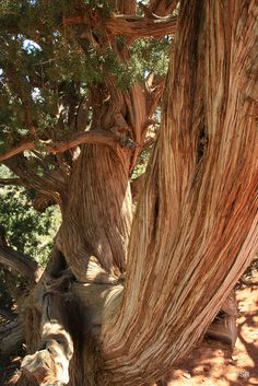 Old growth Cedar tree | The scent of cedar brings back memories of my grandmother & her home