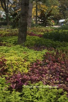 A bed of coleus in the shade garden - a lovely look when you combine different colors.