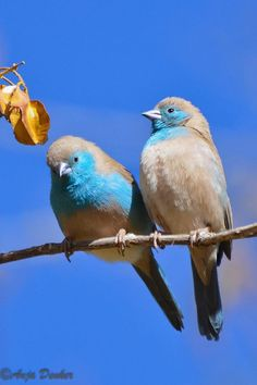 Blue waxbill pair. God created them so beautifully, one of so many gifts that God creates for us to enjoy and give thanks to Him.