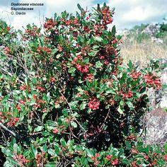 Amaumau fern sadleria cyatheoides endemic to the - Calderas de peles ...
