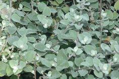Helichrysum petiolare-Licorice