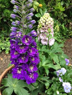 Delphiniums with pansies at the base