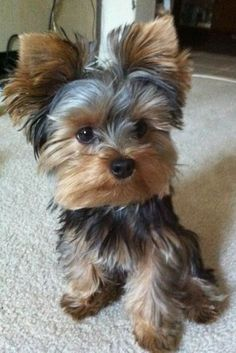 Yorkies, Yorkie Puppy, Baby Yorkie, Pomeranian Dogs, Chihuahua Dogs, Yorky Terrier, Yorshire Terrier, Bull Terriers, Chien Yorkshire Terrier