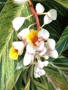 Ginger Plant, My Flower, Planting Flowers, Lily, Plants, Growing Ginger, Orchids, Plant, Lilies